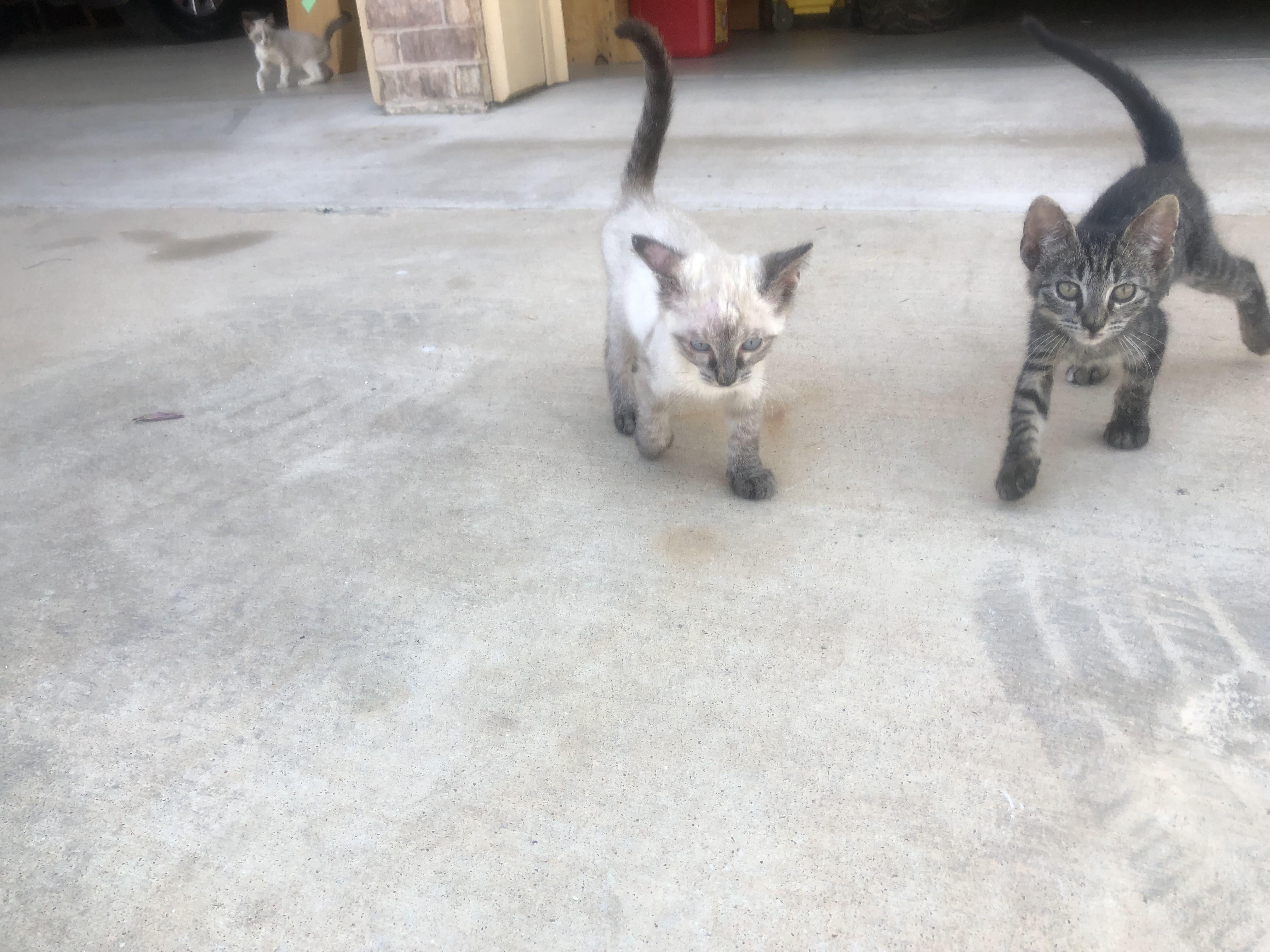 Lost Cat Sy Male Siamese REWARD