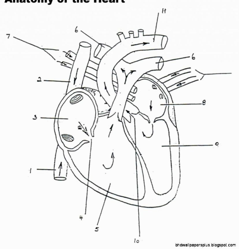 Anatomy Physiology Coloring Workbook Heart Diagram, Anatomy And Physiology,  Human Anatomy And Physiology