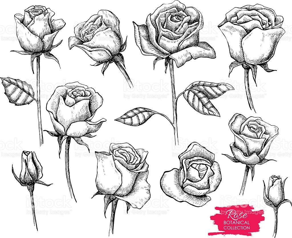 Vector Hand Drawn Botanical Rose Set Engraved Collection Royalty Free Stock Vector Art Roses Drawing How To Draw Hands Flower Drawing