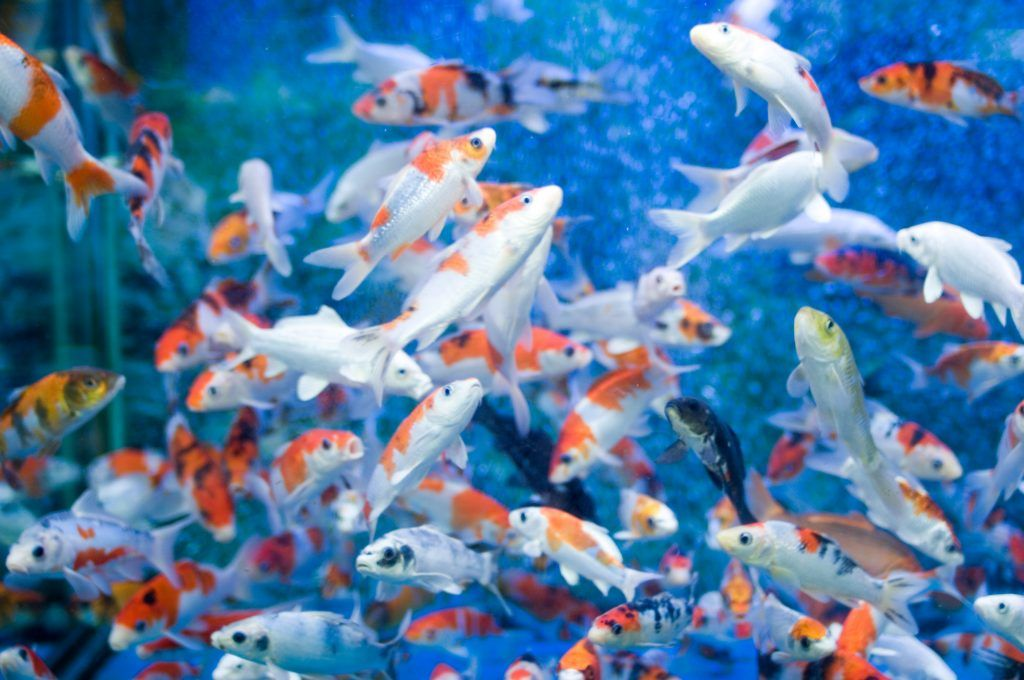 Koi Fish Wallpapers 65 Quality Hd Graphics Wallpaper
