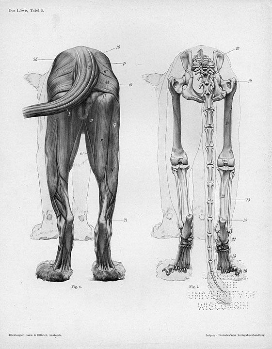Lion Anatomy By Herman Ditrich Bixos Pinterest Anatomy Lions