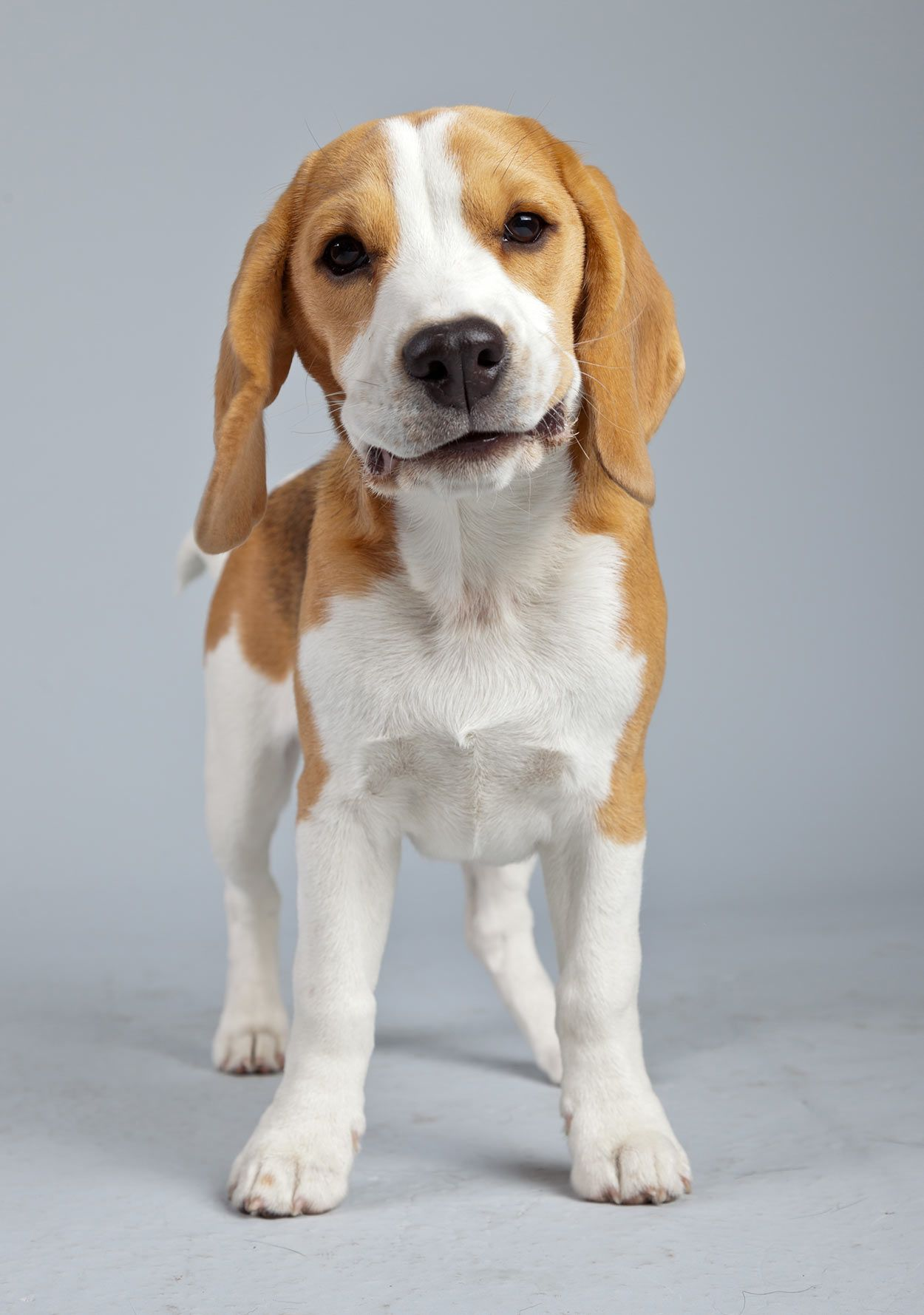 25 Fascinating Lemon Beagle Facts Beagle Puppy Lemon Beagle