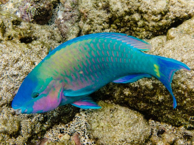 Palenose 800 600 ocean life pinterest for Rainbow fish species