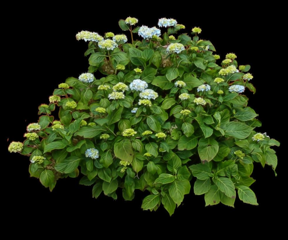 Download Png Image Bush Png Image Tree Plan Png Hydrangea Bush Plants
