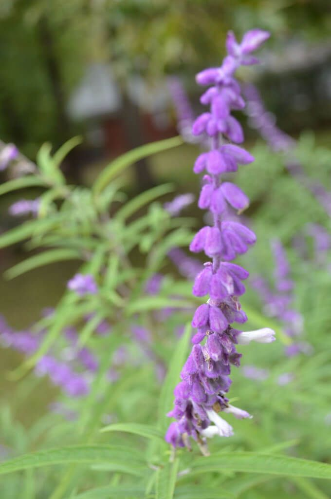 Mexican salvia fall blooming deer drought resistant salvia mexican salvia salvia leucantha produces purple fuzzy flowers that attract hummingbirds butterflies and bees mightylinksfo