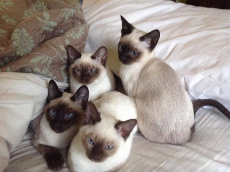 Idea By Trishr On Moo Moo Tonkinese Kittens Cats And Kittens Kittens
