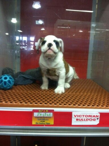 Adorable Sweet Victorian Bulldog For Sale At Uncle Bills Pet Superstore In Fort Wayne India To Visit Peyton O Victorian Bulldog Bulldogs For Sale Cute Animals