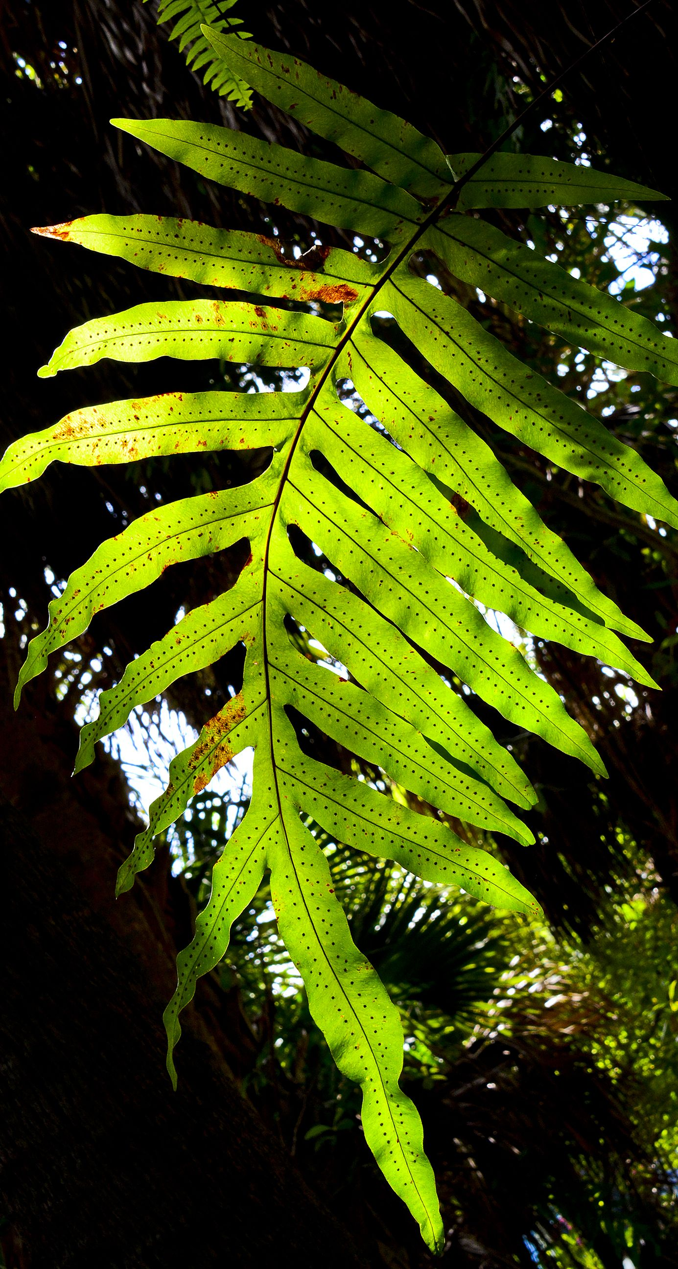 A back-lit illuminated fern off the Greenway Trails in West Palm ...
