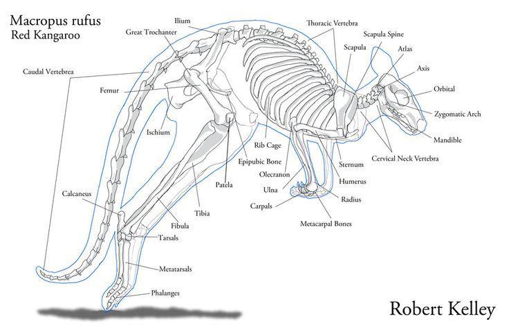 Marsupials Kangaroo Skeleton Google Search Zootomy Animal