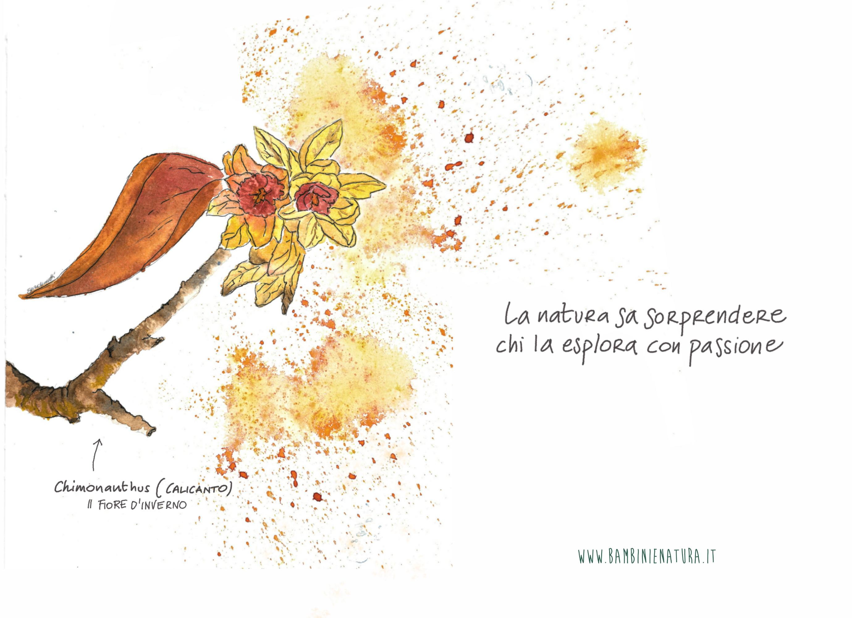 Calicanto Fiore D Inverno calicanto | natura, inverno, fiori