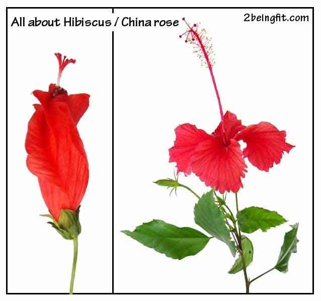Hibiscus Proven Benefits Uses Hibiscus Drawing Hibiscus Hibiscus Rosa Sinensis
