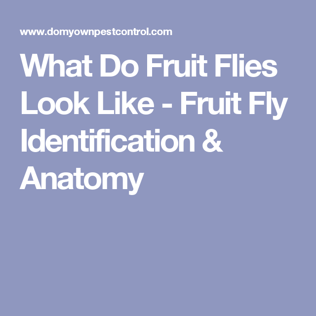 What Do Fruit Flies Look Like Fruit Fly Identification Anatomy