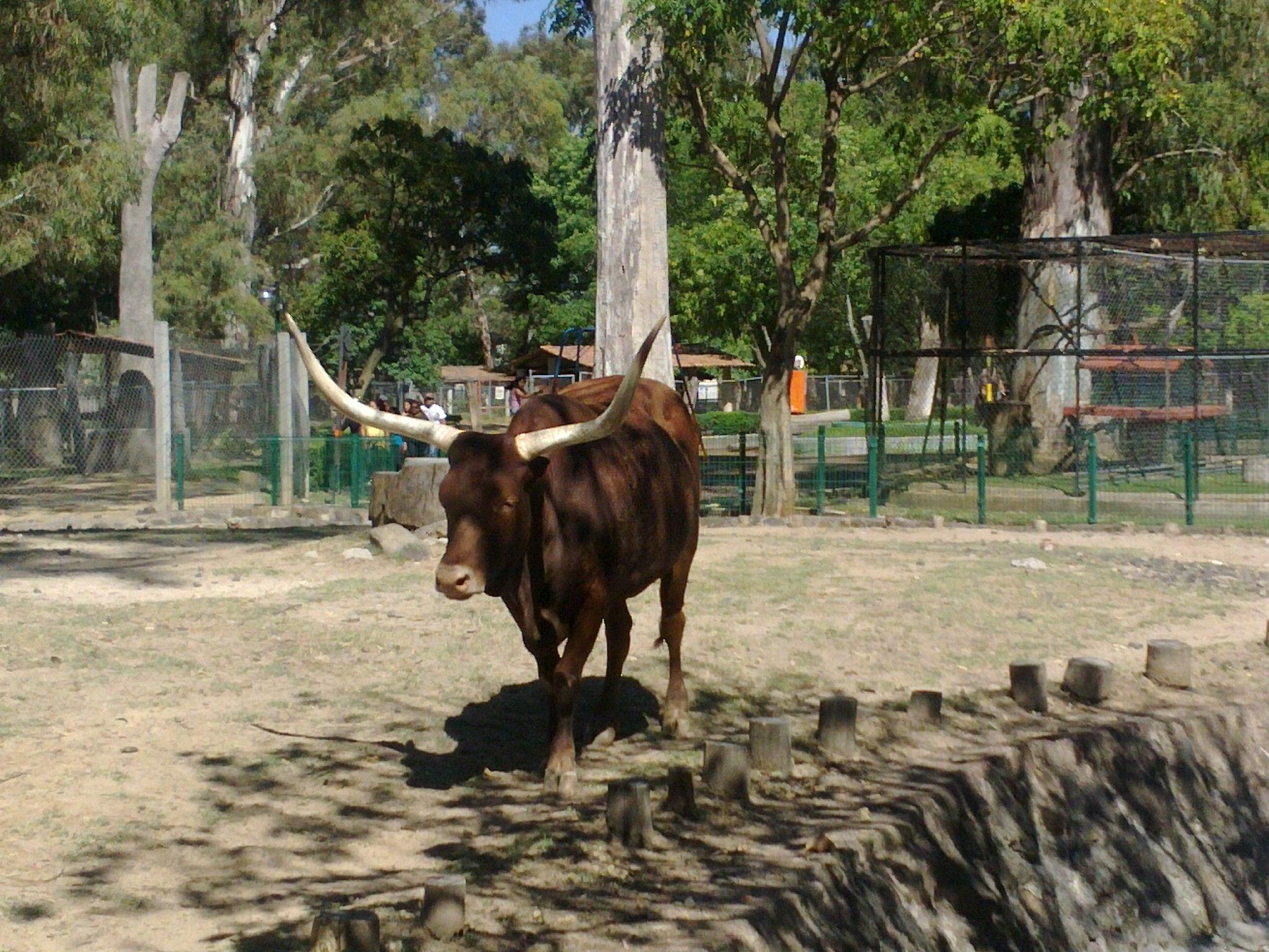 52 best watusi images on pinterest animals farm animals and