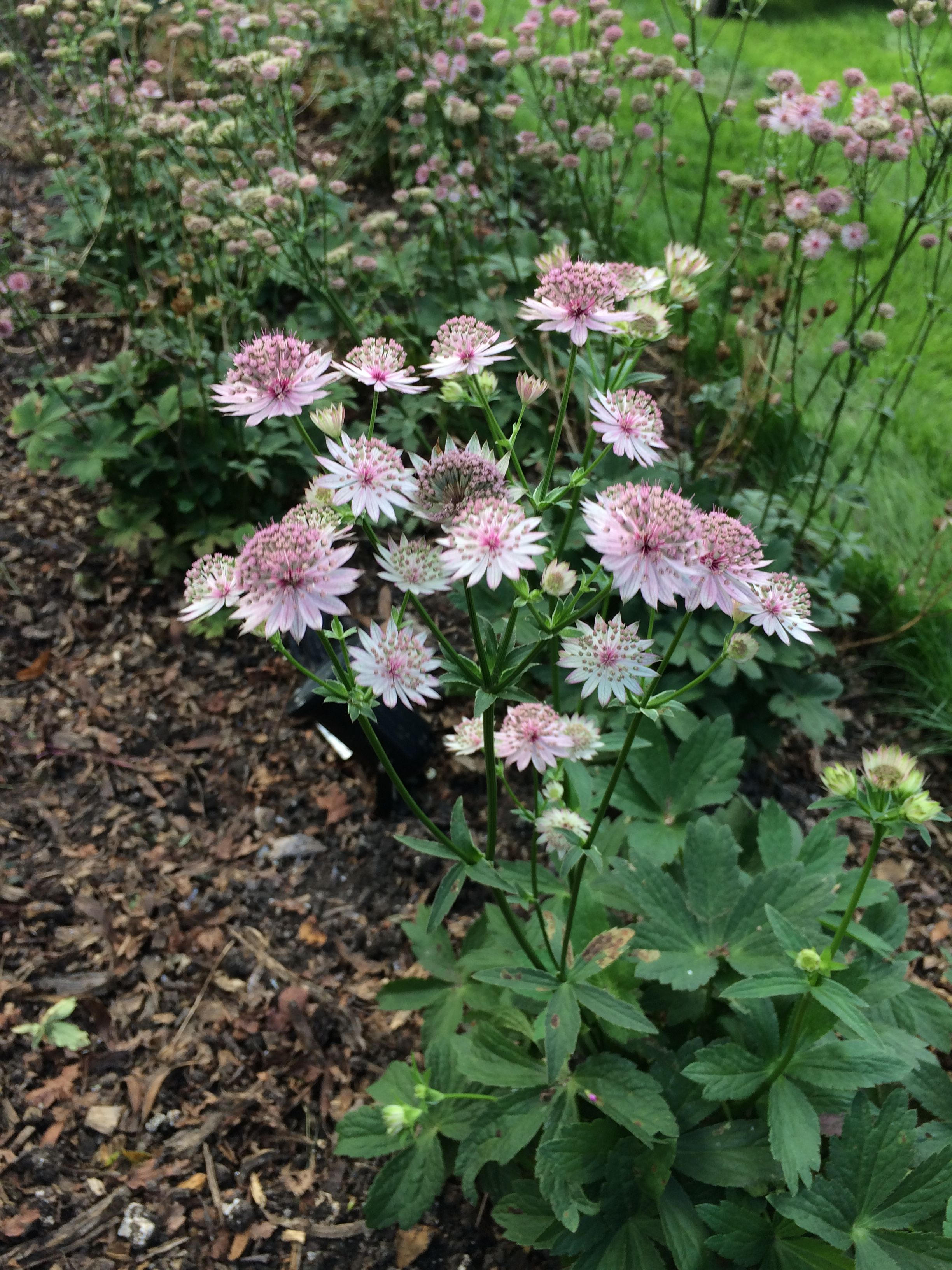 Astrantia Roma Long Flowering Perennial Bright Pink Fades Over