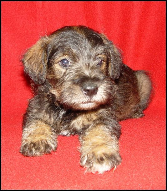 Shelbo Schnoodles Puppy Nursery Puppy Nursery Schnoodle Puppies