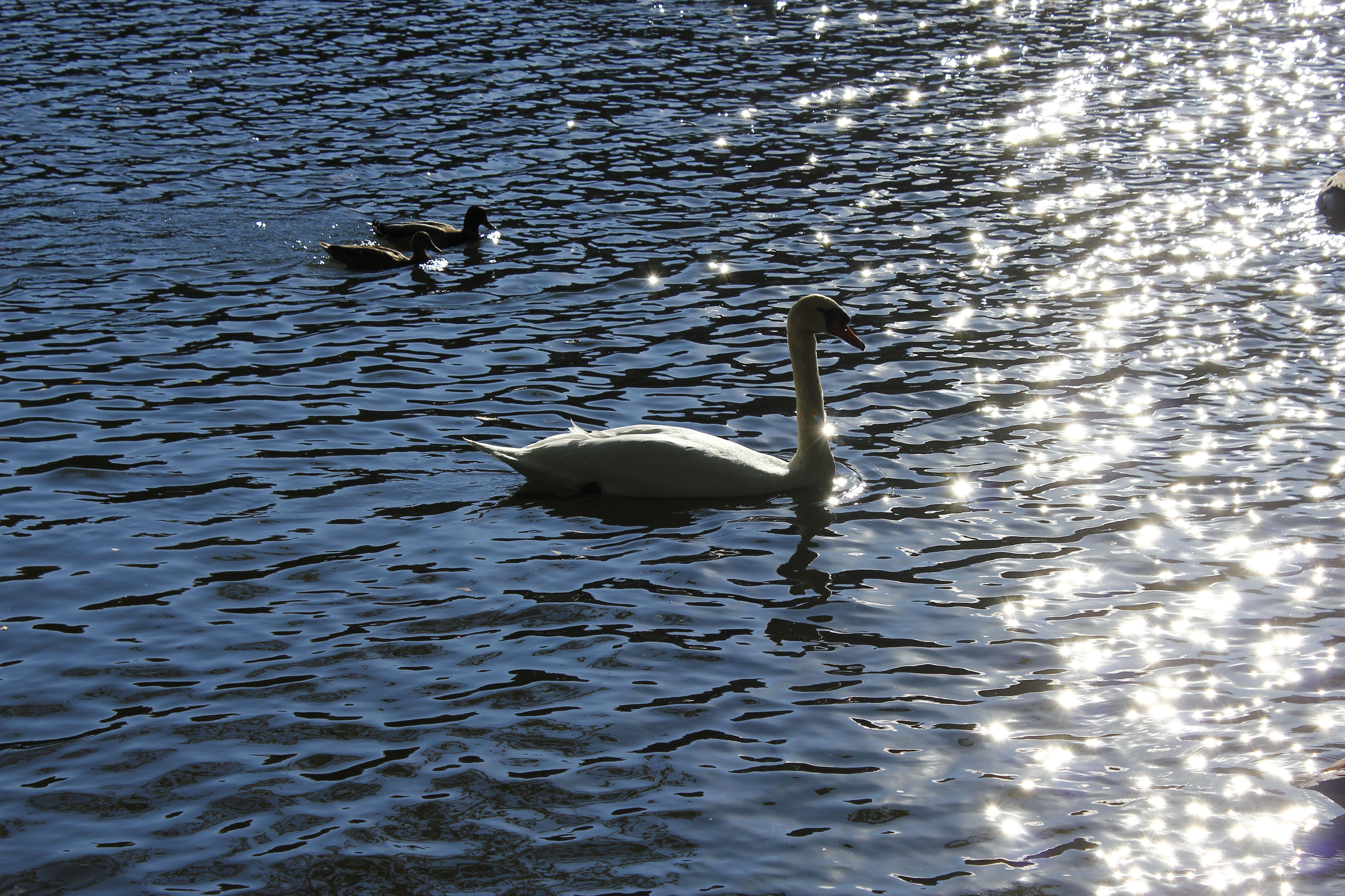 Swan in StonyBrook