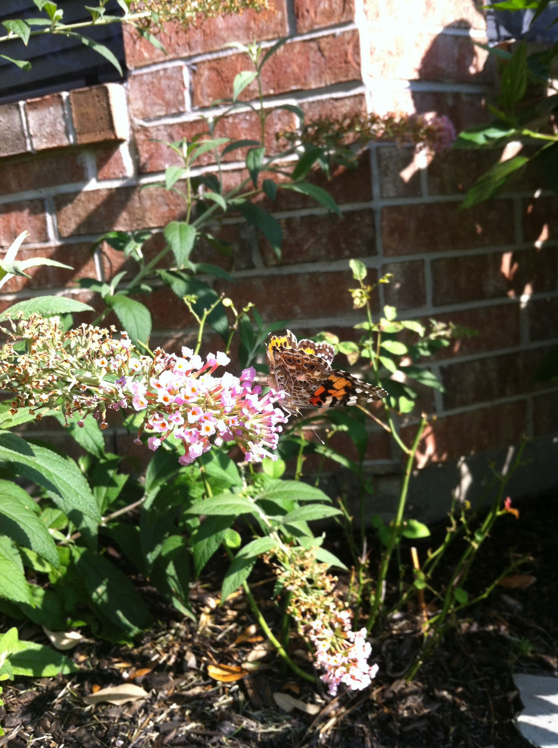 Painted Lady on peach cobbler butterfly bush!