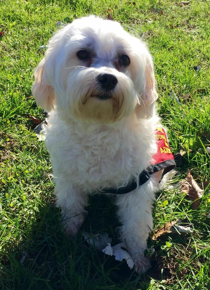 Adopt Bo On Maltese Dogs Pets Animal Rescue