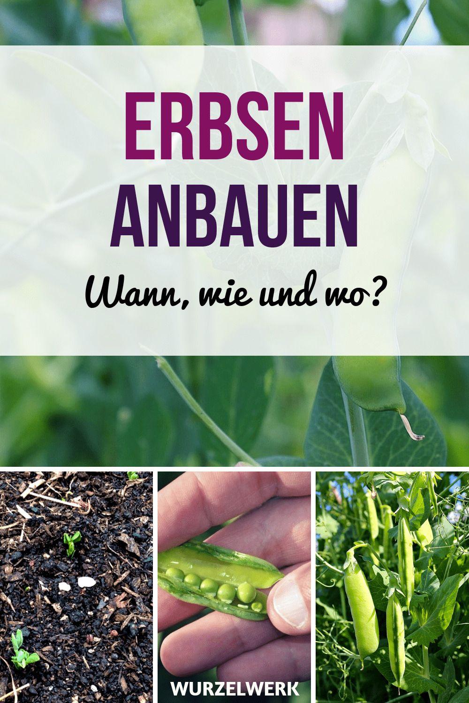 Erbsen & Zuckererbsen pflanzen und anbauen – Wurzelwerk – Garten gestalten