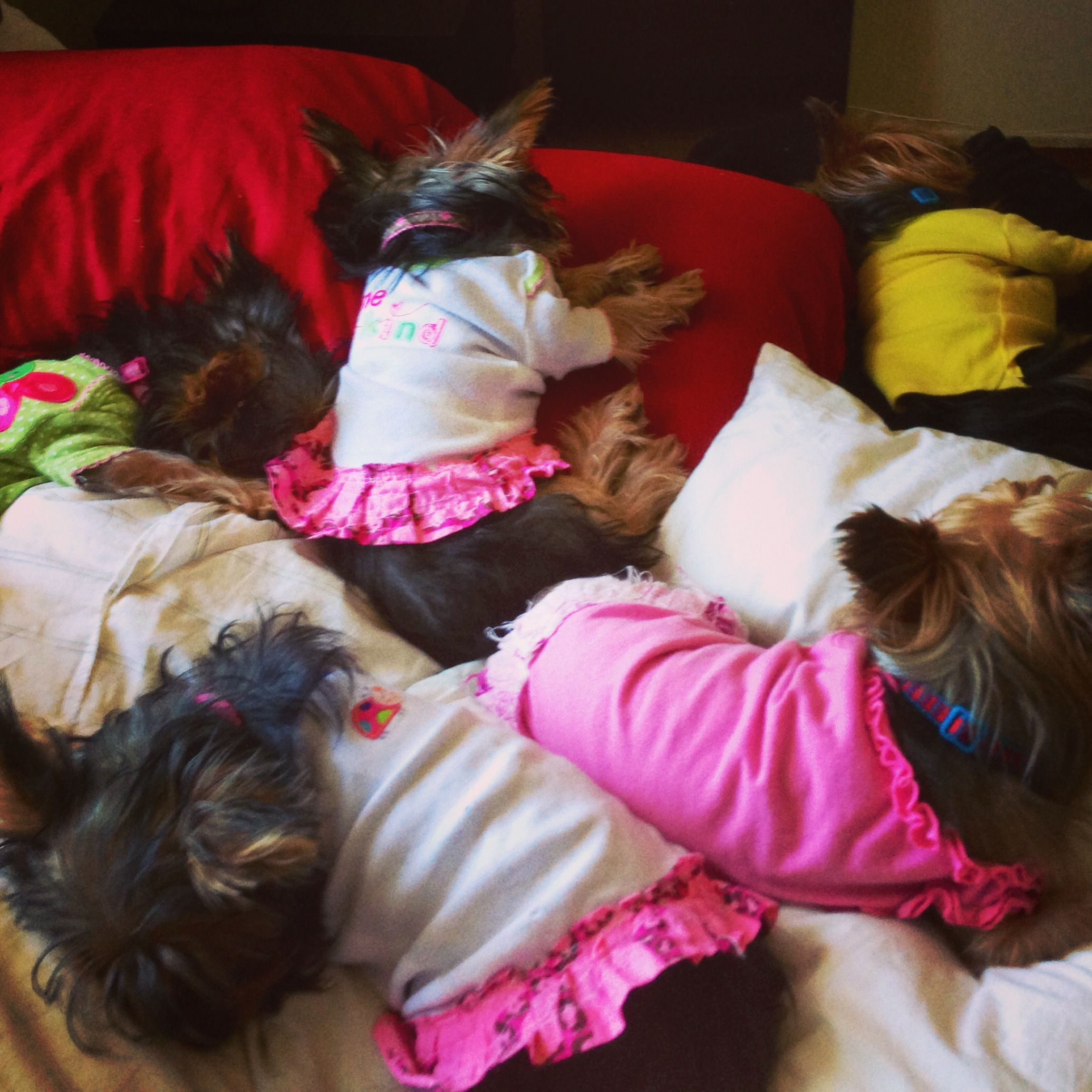 Can u count 5 sleeping Yorkies ?