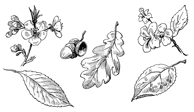 Oak Leaves Clip Art Black And White Olddesignshop