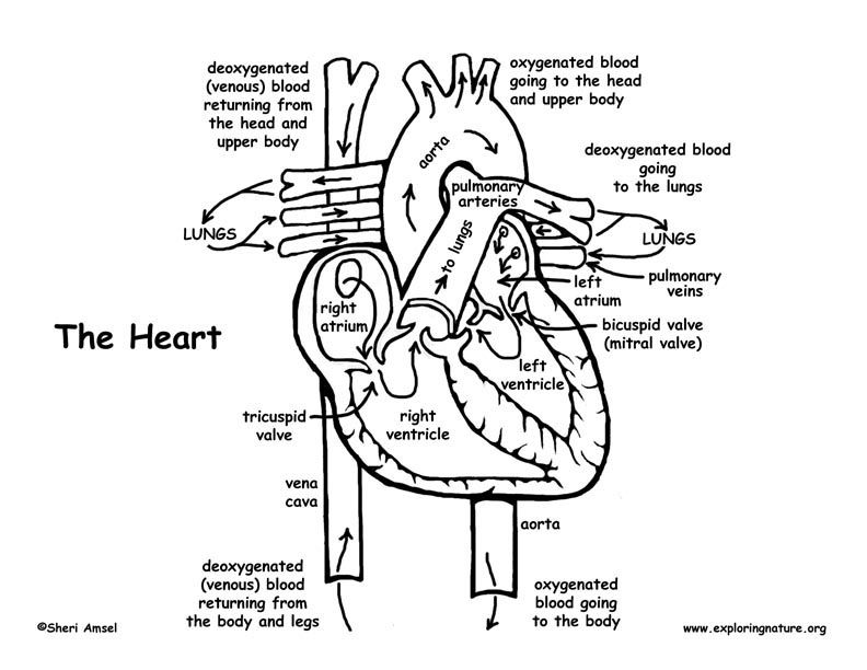 The Heart -- Exploring Nature Educational Resource Anatomy Coloring Book,  Heart Coloring Pages, Anatomy And Physiology