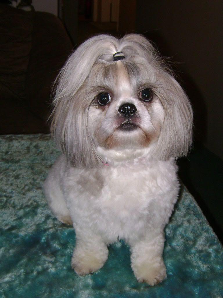 Girl Shih Tzu Haircuts Michele And The Pups Haircuts For Bella