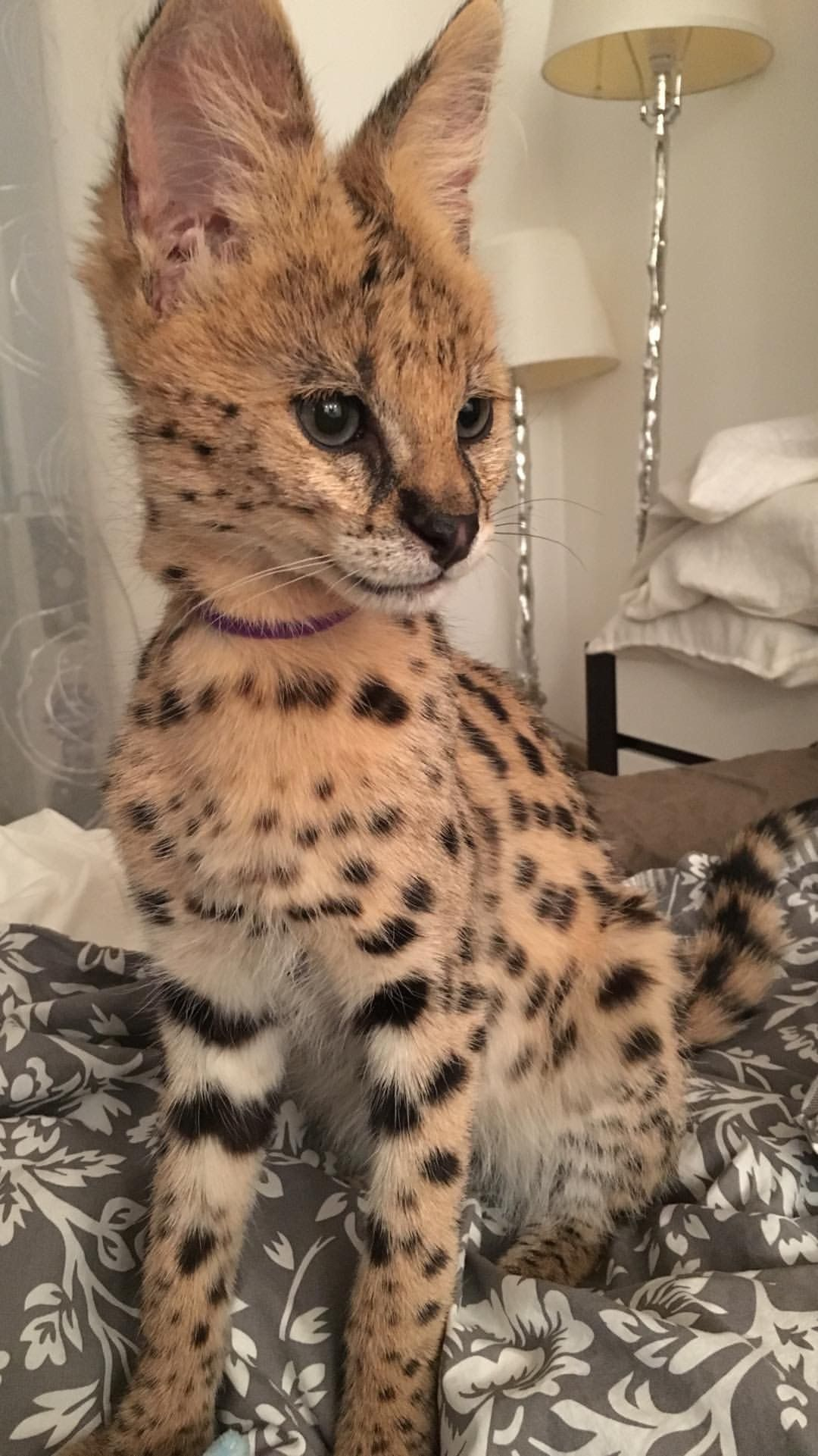 Savannah F1 Cat Cats Savannah Cat Serval Cats Savanna Cat