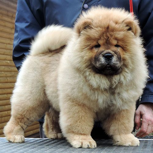 Black Blue Fawn Cinnamon Cream Red Rough And Smooth Chow Chow