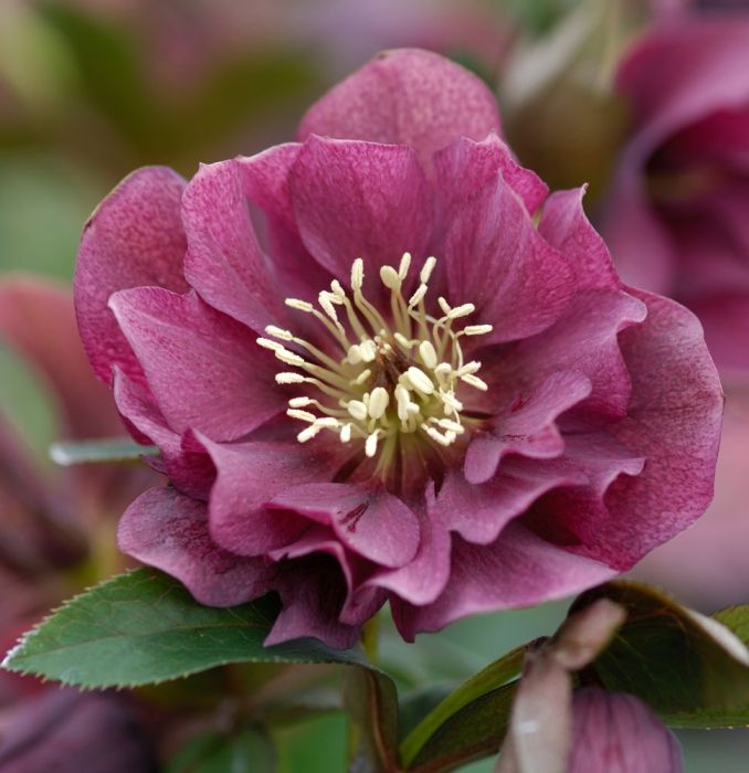 Growing Hellebores Those Lovely Harbingers Of Spring: Helleborus (Hellebore) Double Ellen Red