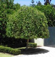 Umbrella Shaped Small Trees Home Contact Us Privacy