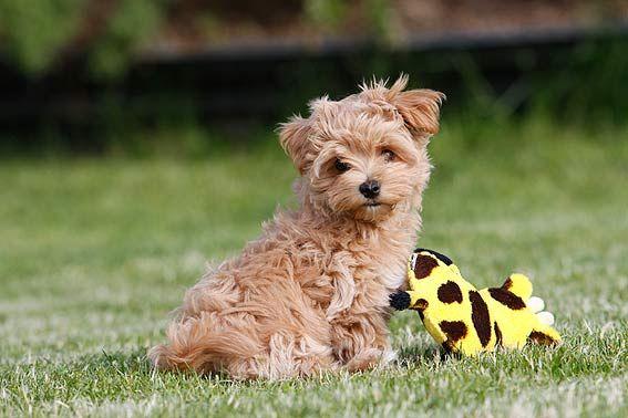 Maltipoo in 2020 Maltipoo welpen, Goldendoodle, Hundepflege
