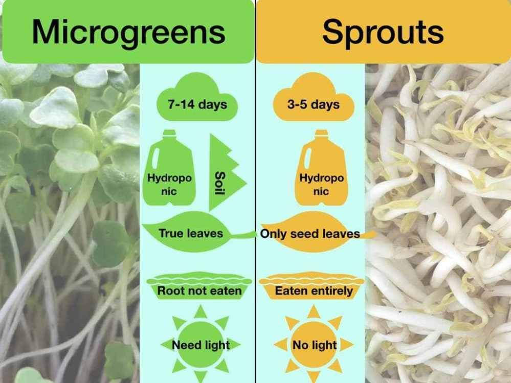 🌱 Microgreens vs. Sprouts [All Similarities & differences] — Microveggy | How to Grow Microgreens Indoors – Growing microgreens indoors