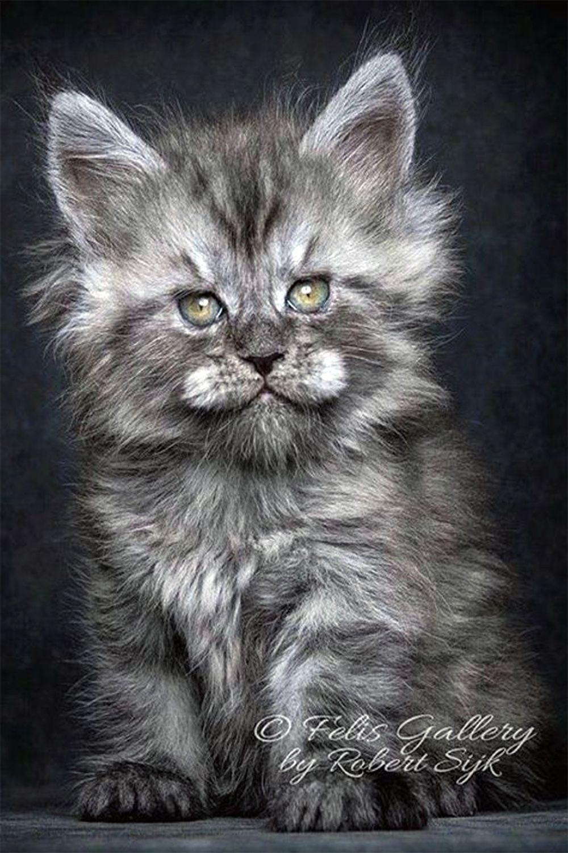 Ragdoll Kittens For Sale Buy Ragdoll Kittens Rag Doll Rag Dolls Kittens Cutest Cats And Kittens Kittens
