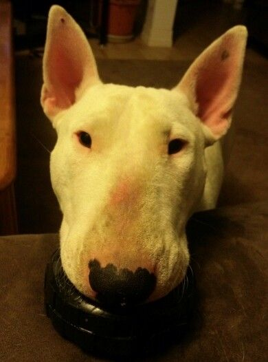 Please play with me!! *English Bull Terrier*