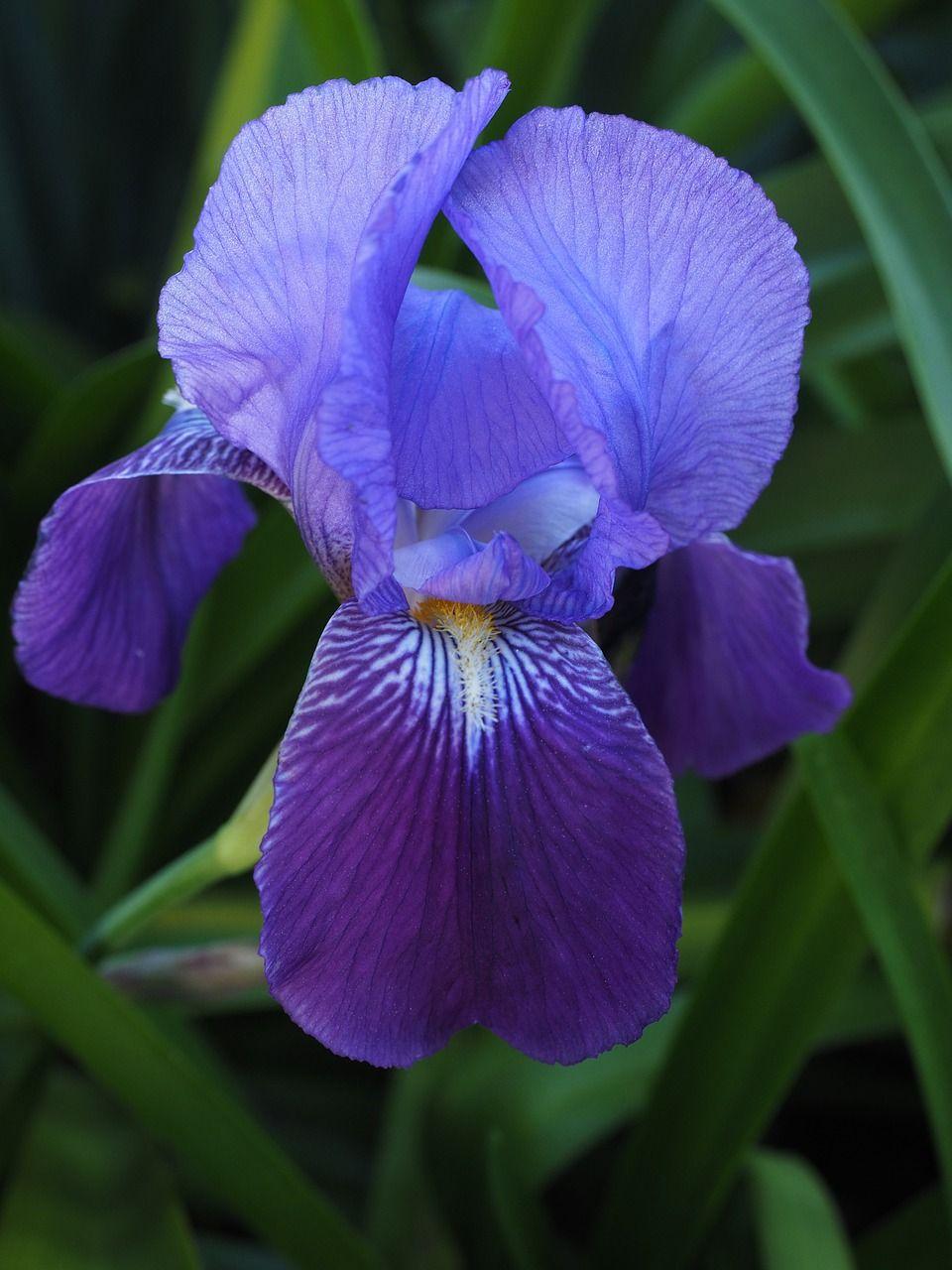 Free Image On Pixabay Iris Lily Flower Blossom Bloom Irises