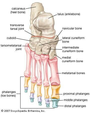 Anatomy of the foot | ANATOMY | Pinterest | Medizin, Physiotherapie ...
