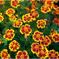 Aksamitka Marietta Rozpierzchla Jadalne Kwiaty W Sklep Nasiona Sprawdz Darmowa Wysylke Plants