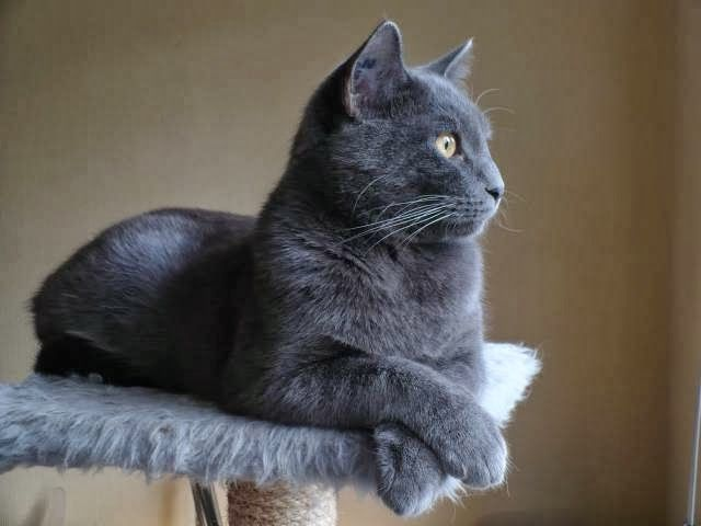 Chartreux Pictures Chartreux Cat Cute Cats And Dogs Chartreux Kittens