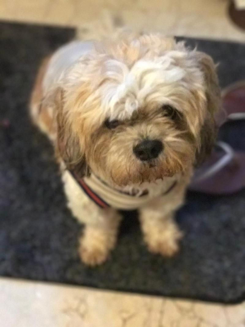 Adopt Simba On Lhasa Apso Poodle Mix Dogs Dogs