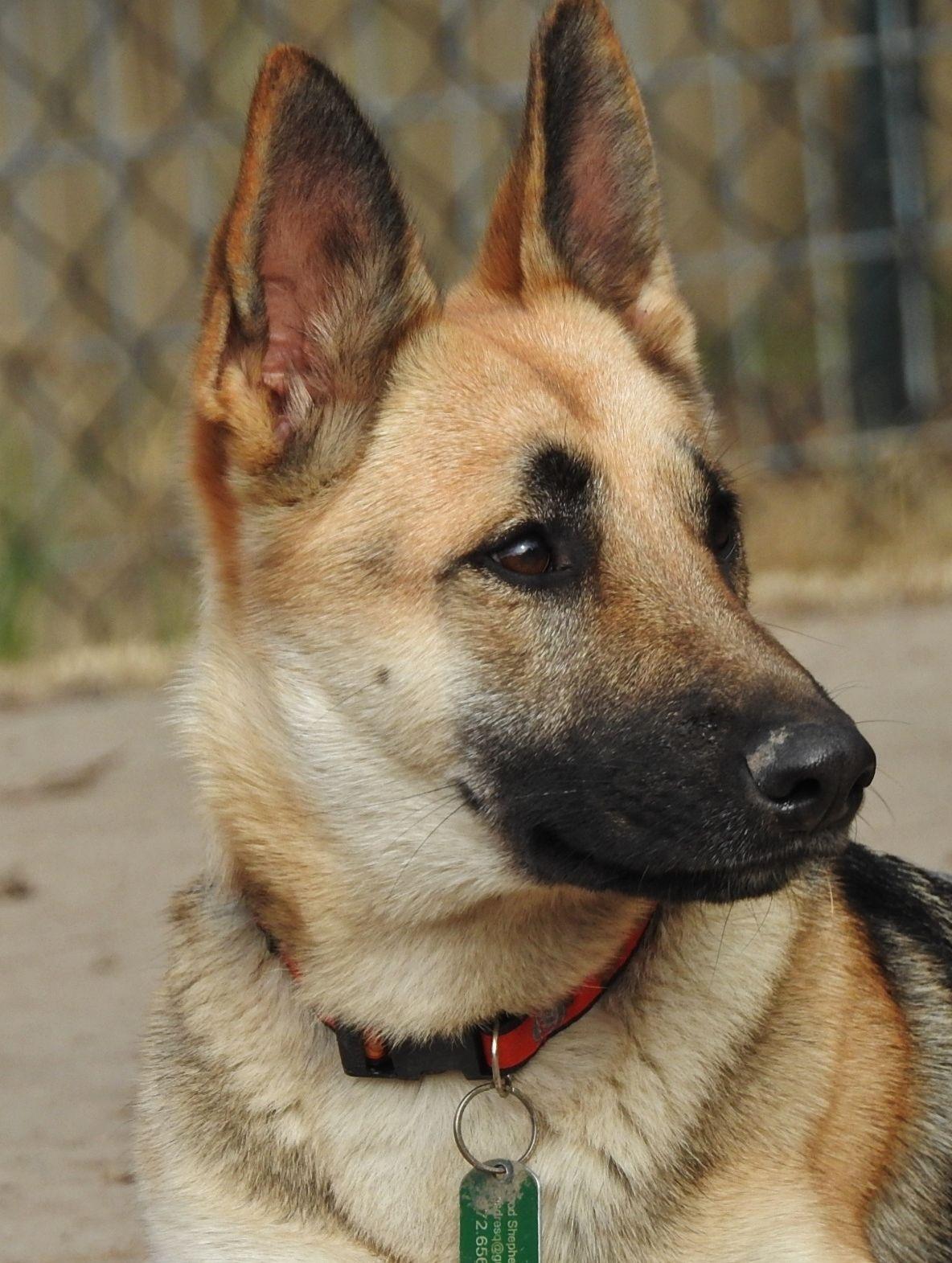 Adopt Chana On Rescue Dogs For Adoption German Shepherd