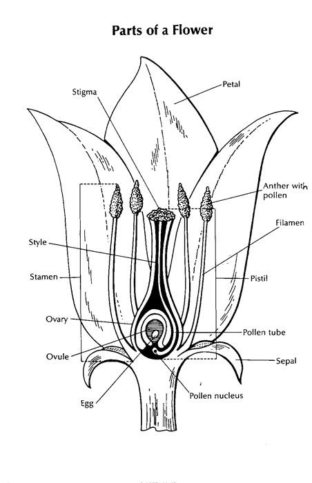 Diagram Of A Flower Parts Of A Flower Biology Plants Plant Science