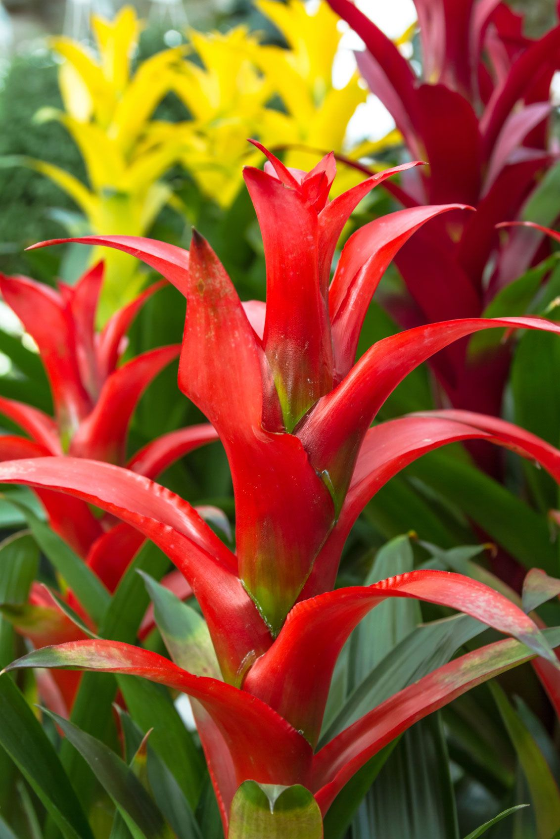 Growing A Bromeliad And How To Care For A Bromeliad Plant