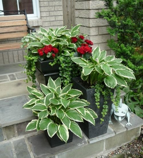 Pots filled with Hostas will return each Spring, add a pop of color with geraniums and some ivy.