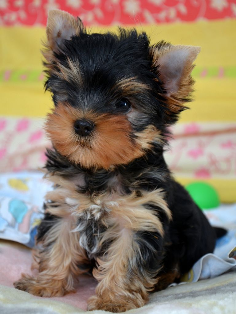 Yorkshire Terrier Puppies Yorkshire Terrier Sale Listing Yorkshire Terrier Puppies Yorkie Puppy Shorkie Puppies