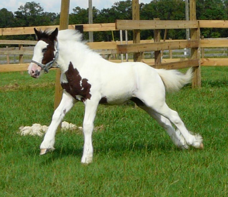 Pin on Gypsy Vanner Horses For Sale & Stallion Services