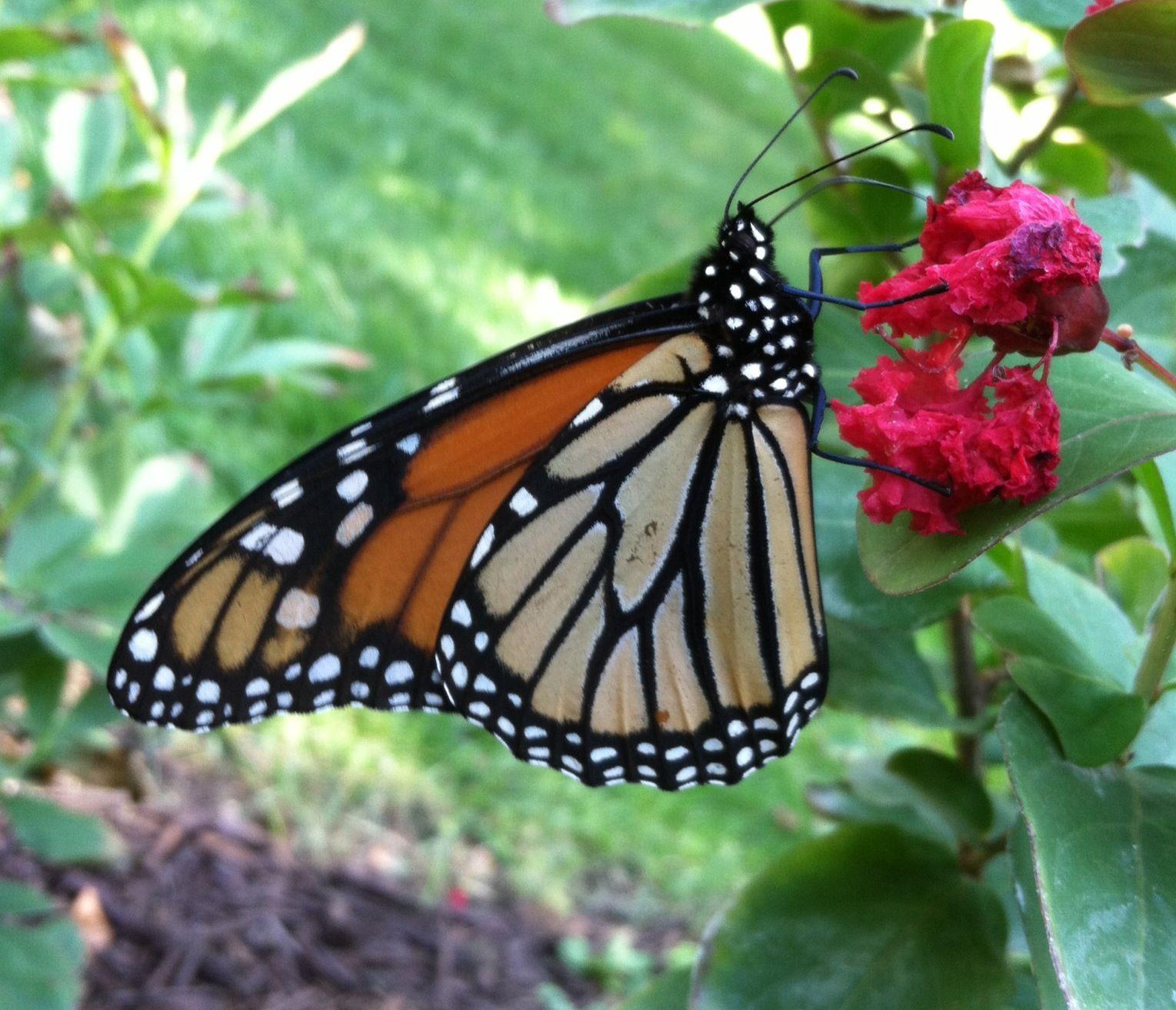 Monarch on Crepe Myrtle                               Photo by CS Lent