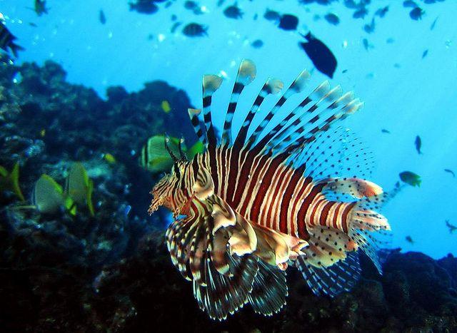 Lionfish, Sharm