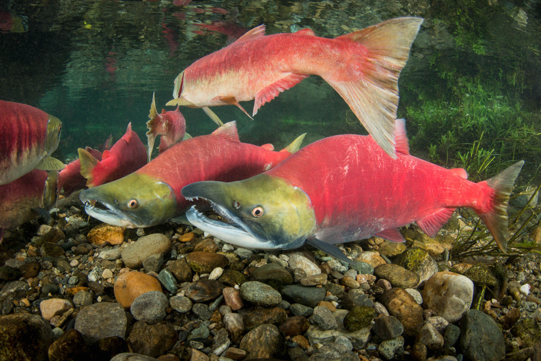 Sockeye Salmon | Aquarium - Freshwater | Pinterest | Salmon and ...