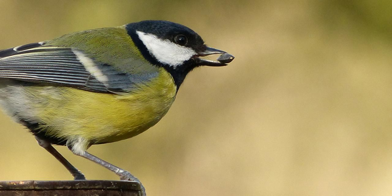 BBC - Earth - Sneaky female birds outwit males